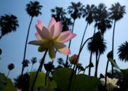 2017年7月,美國洛杉磯回聲公園荷花盛開。(新華社)