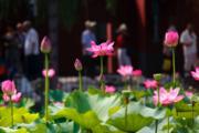 2017年夏天,北京北海公園荷花展(中新社)