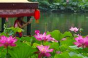 北京北海公園荷花盛放。(中新社)