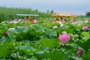 2017年7月,遊人在河南淮陽龍湖乘船賞荷。(新華社)