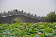 2017年7月,遊人在寧夏銀川市鳴翠湖國家濕地公園橋上賞荷。(新華社)