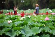 2017年6月,河北香河縣舉辦荷花節,遊人舉機自拍。(新華社)