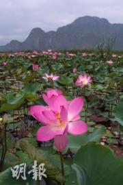 2017年5月,泰國華欣Khao Sam Roi Yot國家公園的荷花 (法新社)