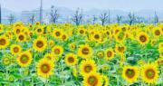 日本向日葵之丘公園 38萬朵向日葵盛放成金黃花海【短片】