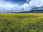 2017年7月3日,青海青藏高原門源縣,藍天、白雲、雪山和金燦燦的油菜花相輝映。(中新社)