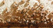 蜜糖知多啲|本地養蜂人:蜜糖新鮮無添加為佳