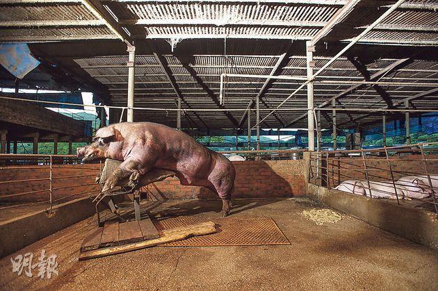 元朗英明農場中,脾氣較暴躁的種豬都可以獨享一個約50平方呎的豬欄。環顧香港居住環境,港大的調查顯示,港人平均居住面積僅150平方呎,稍好於3隻豬,是東亞主要城市中最差。(鄧宗弘攝)