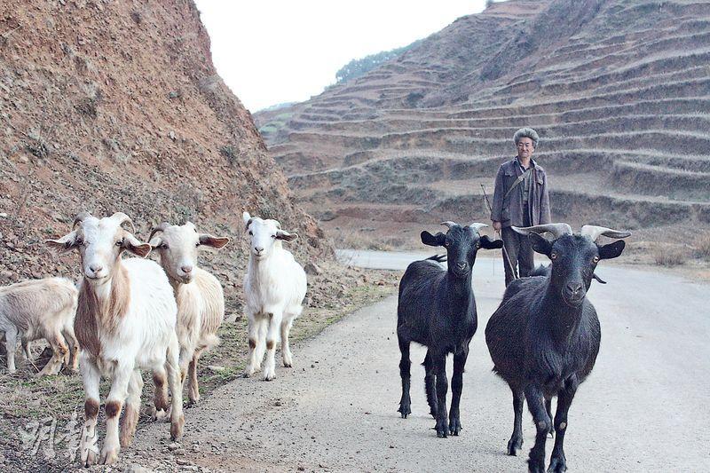 貴州威寧山區一名老農手持枝條,在公路上趕羊。(楊立贇攝)