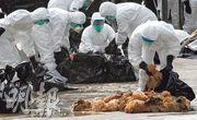 香港大學新發傳染性疾病國家重點實驗室主任管軼指出,沒有內地提供的禽流感樣本,香港做不好研究。圖為2014年長沙灣家禽批發市場發現H7病毒,食環署及漁護署人員銷毁活雞。(資料圖片)