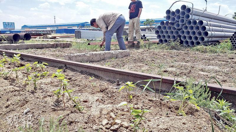 唐山吉祥鋼材市場幾近荒蕪,在此經營鋼材的楊先生,將原先租來堆鋼材的空地用來種黃豆。(鄭海龍攝)