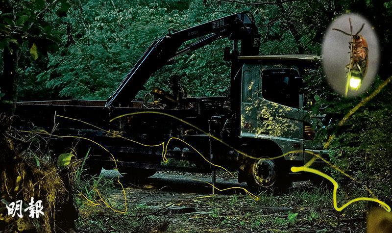 螢火蟲市區繁衍  人車為鄰  昆蟲專家鼓舞:有重要保育意義