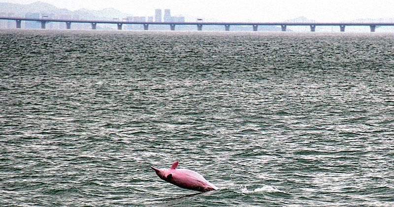 大橋施工 珠江口白海豚減兩成 內地報告送交港府 從未公開