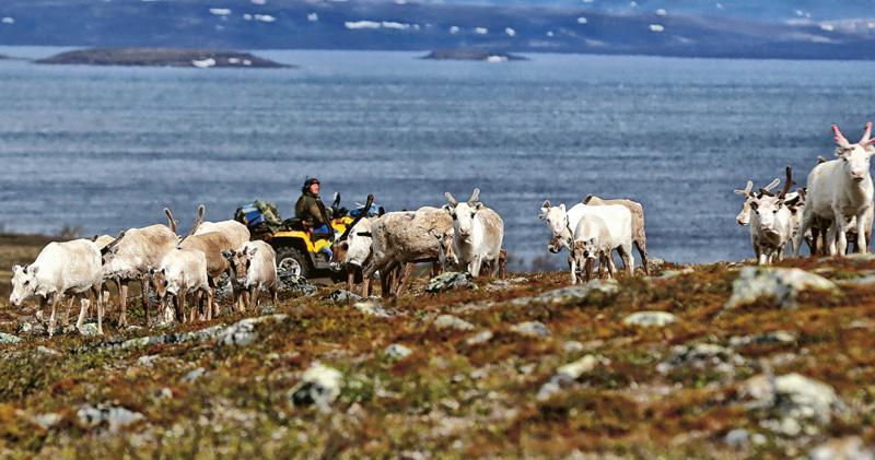 挪威政府批准在北極圈領土開採銅礦,被指會破壞馴鹿的棲息地,影響當地原住民薩米人的生計。(路透社)