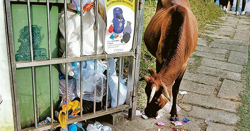 疫下塔門露營旺  草地禿牛吞袋  植被縮減遺留垃圾  團體促漁署跟進