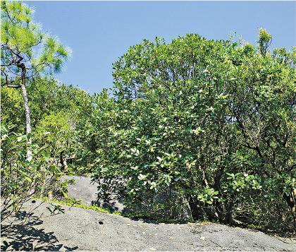 10月山茶花   大頭花開遍山頭 耐旱不挑土壤 入藥驅風濕